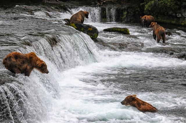 thompson.k_bear.katmai.jpg-2 copy