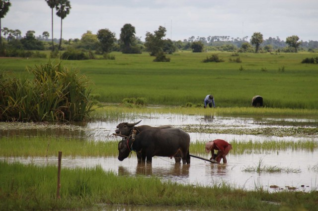 2015 Collard -  Cambodia 005