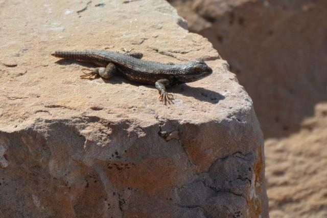 Canyin-Lizard