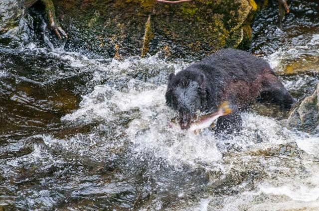 thompson.k_bear.alaska.anan1.jpg