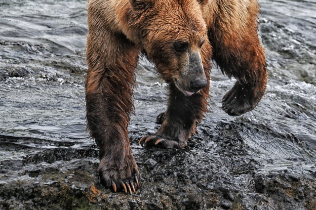 thompson.k_bear.katmai.jpg-2