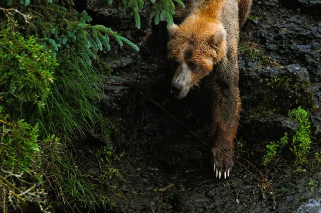 thompson.k_bear.katmai.jpg-6