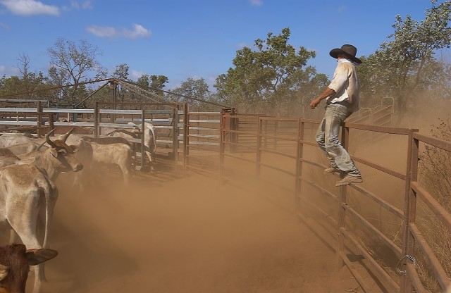 19-Cattle work on Wollogorang station (ranch)-pic by M Ellem