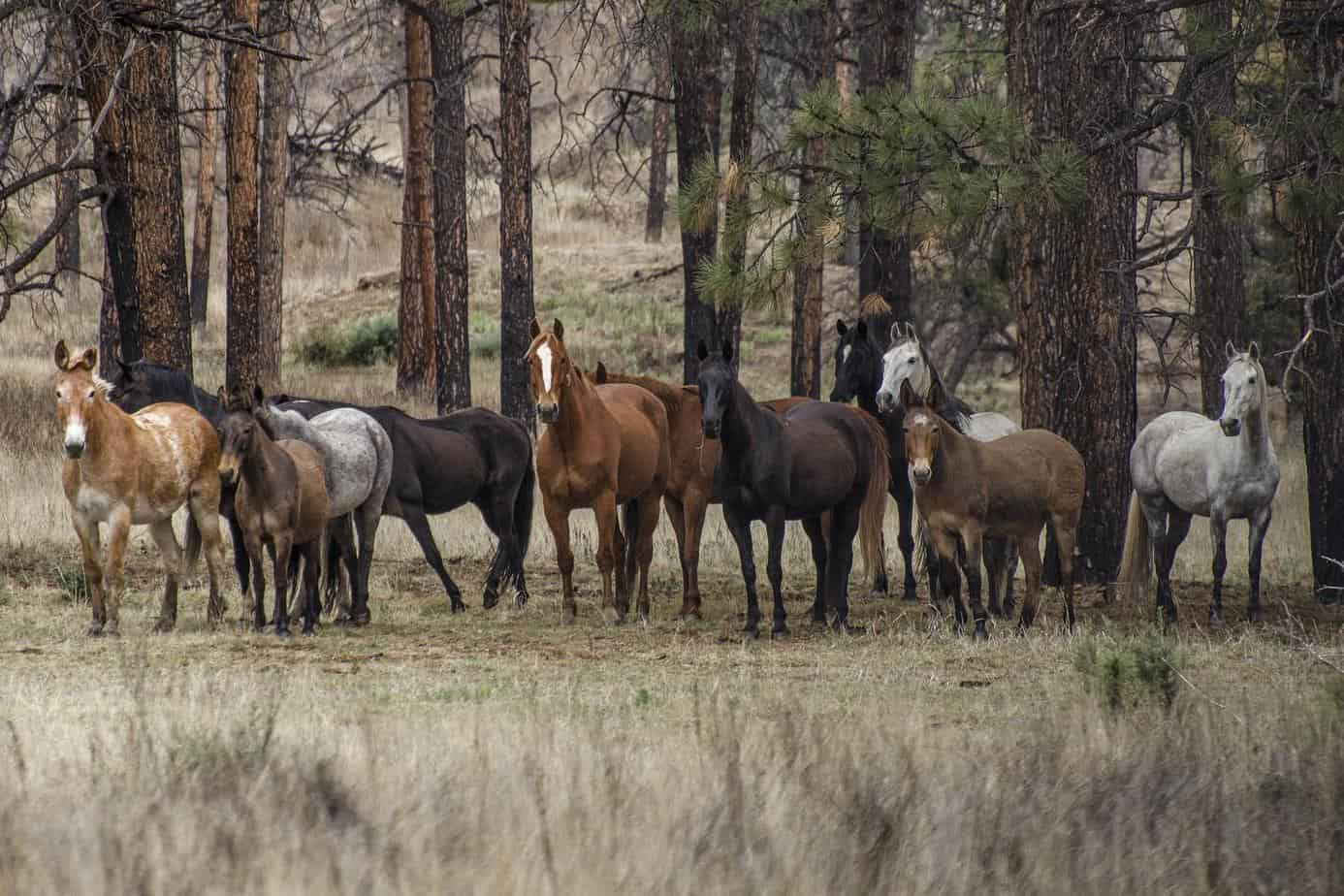 3 - Mustangs and Mules - Mimbres River (Copy)