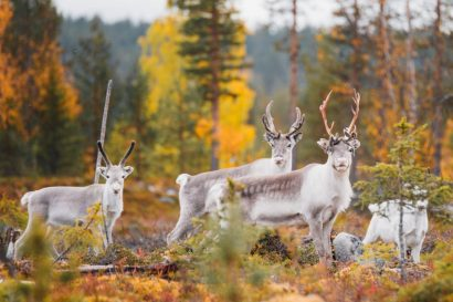 finish lapland reindeer
