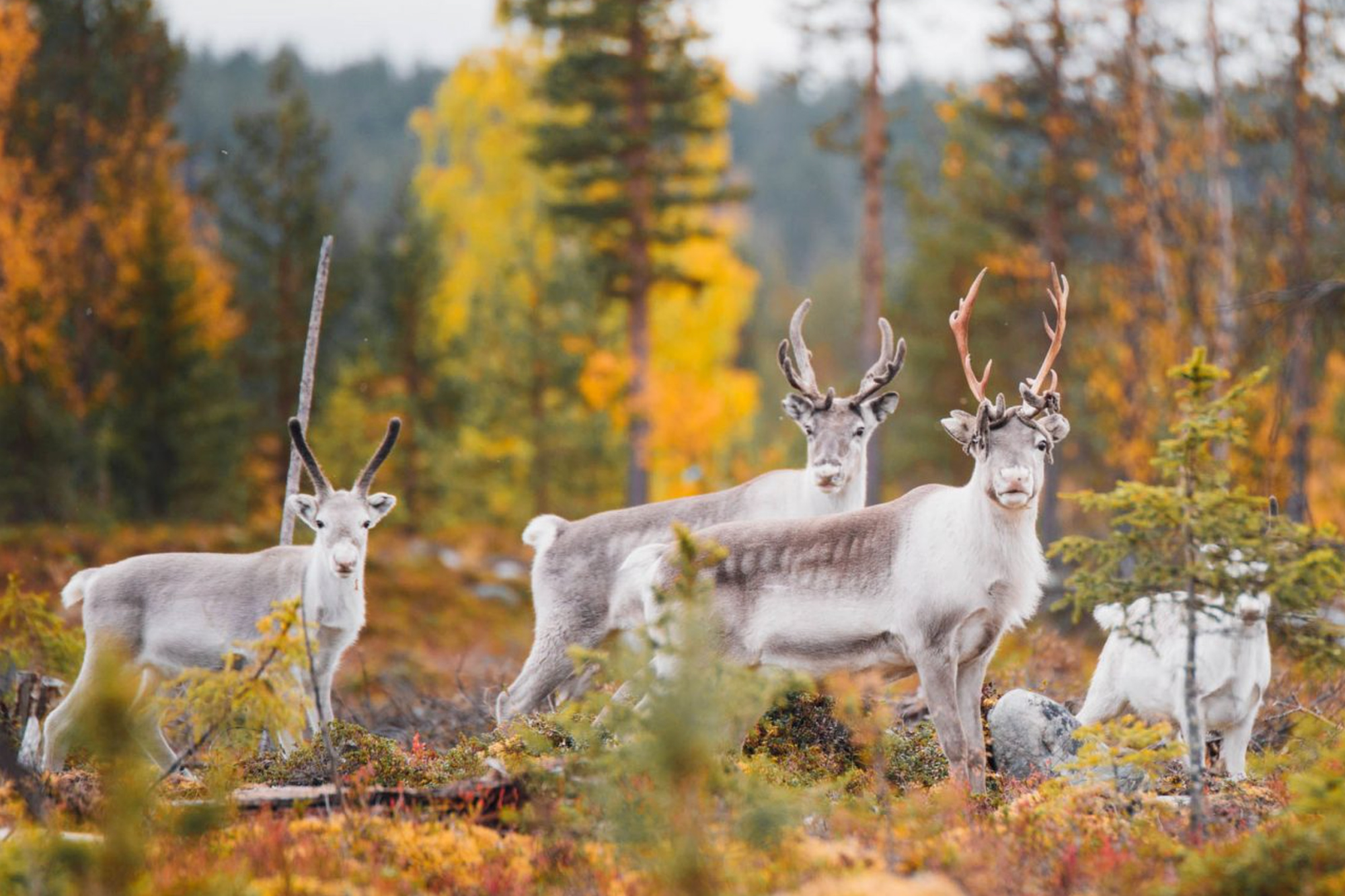 Destination: Finnish Lapland, Finland - Expedition Portal Destinations